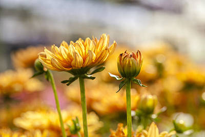 Daysray Photograph - Yellow Delight by Fran Riley