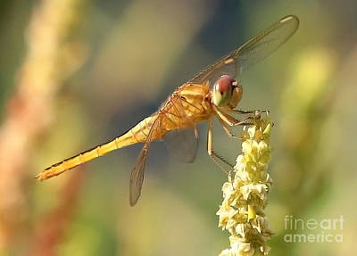 Yellow Dragonfly On Yellow Reed  Art Print