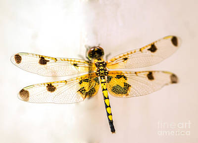 Dragon Photograph - Yellow Dragonfly Pantala Flavescens by Iris Richardson