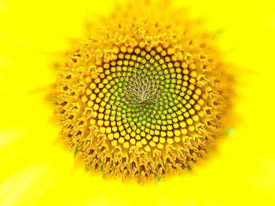 Photograph - Yellow Dreams  by Kim Galluzzo Wozniak