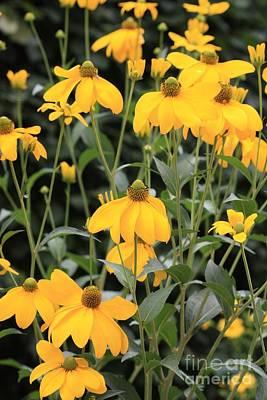Garden Of Europe Photograph - Yellow Echinacea by Carol Groenen