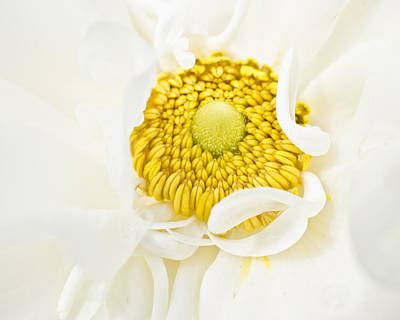 Anemone Photograph - Yellow Embrace by Priya Ghose
