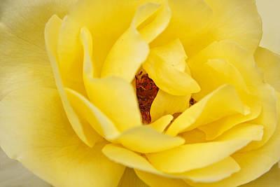 Photograph - Yellow English Rose by Susan Leonard