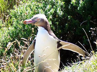 Photograph - Yellow Eyed Penguin by Nancy Pauling
