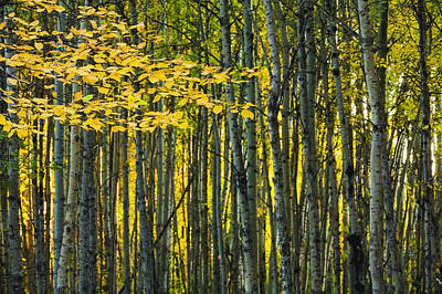 Yellow Fall Birch Leaves Against An Art Print