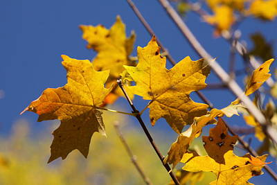 Photograph - Yellow Fall Leaves by Kristy Jeppson
