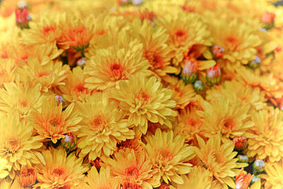 Photograph - Yellow Fall Mums by Beth Sawickie