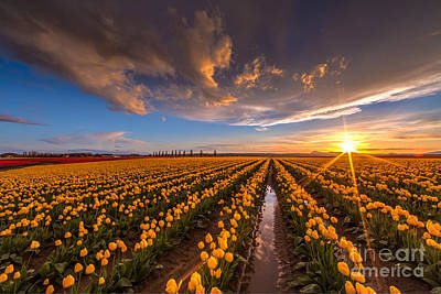 Tulips Photograph - Yellow Fields And Sunset Skies by Mike Reid