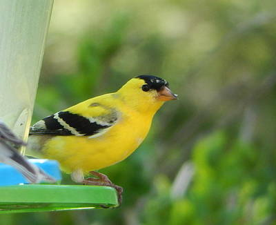 Photograph - Yellow Finch by Betty-Anne McDonald