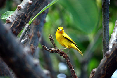 Photograph - Yellow Finch by Karen Nicholson