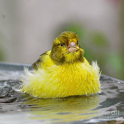 Photograph - Yellow Finch by Olga Hamilton