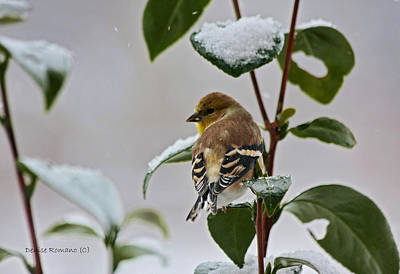 Photograph - Yellow Finch On Branch by Denise Romano