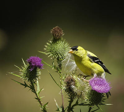 Yellow Finch Art Print by Thomas Young