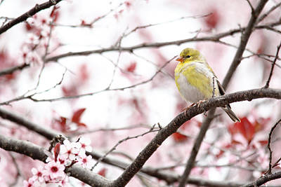 Photograph - Yellow Finch by Trina  Ansel