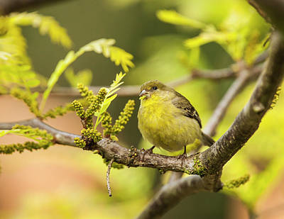 Yellow Finch With Young Seeds Art Print by Michael Qualls
