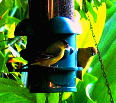 Photograph - Yellow Finches by Hazel Holland