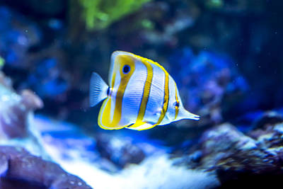 Clown Fish Photograph - Yellow Fish by Jijo George