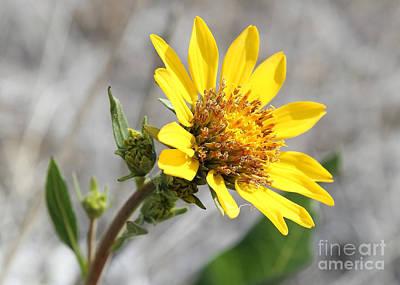Photograph - Yellow Flower - Carey's Balsamroot by Carol Groenen