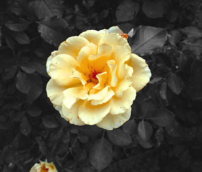Photograph - Yellow Flower by Felix Concepcion