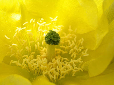 Photograph - Yellow Flower Of A Prickly Pear Cactus by Rob Huntley