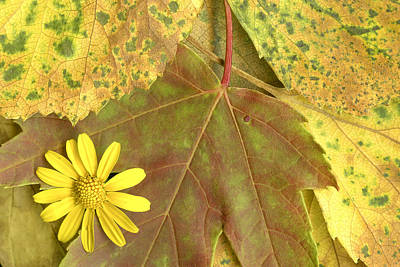 Photograph - Yellow Flower On Leaves by Susan Stone