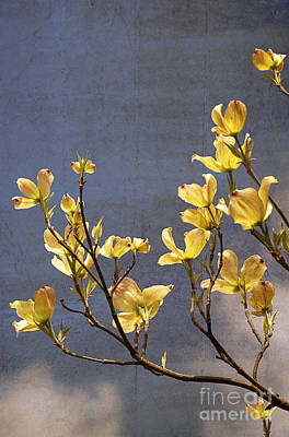 Photograph - Yellow Flowering Dogwood by Charline Xia