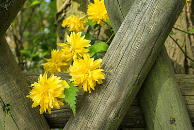 Photograph - Yellow Flowers And Fence by Gene Norris