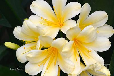 Art Print featuring the photograph Clivia Yellow Flowers by Jeannie Rhode