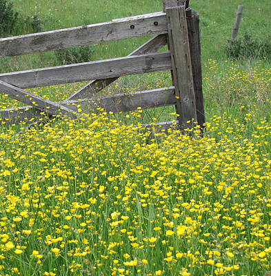 Photograph - buttercups on an Old Farmstead by Phil Rispin
