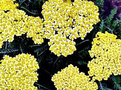 Yellow Flowers Art Print by Sanford