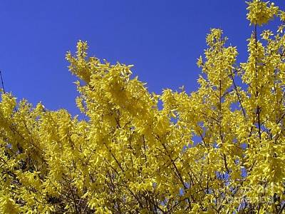 Photograph - Yellow Forsythia Blue Sky by Joan-Violet Stretch