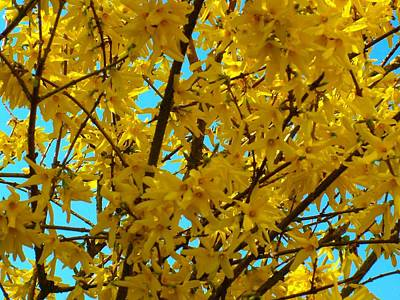 Photograph - Yellow Forsythia Bush by Joan-Violet Stretch