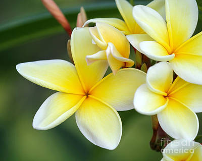 Lei Photograph - Yellow Frangipani Flowers by Sabrina L Ryan