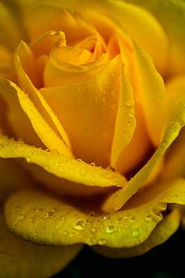 Photograph - Yellow Garden Queen. Yellow Rose by Jenny Rainbow