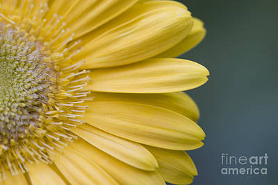 Photograph - Yellow Gerber Daisy by Jill Lang