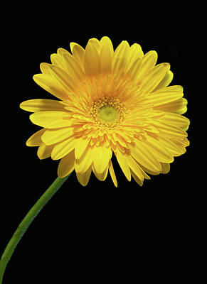 Yellow Gerber Daisy Print by Joan Powell