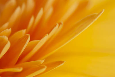 Photograph - Yellow Gerbera Petals by Zoe Ferrie