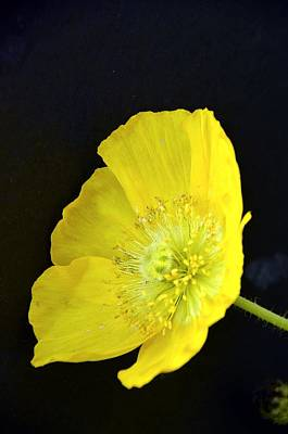 Photograph - Yellow Glory by Randy J Heath