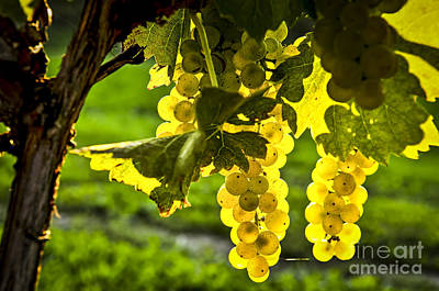 Wine Royalty-Free and Rights-Managed Images - Yellow grapes in sunshine by Elena Elisseeva