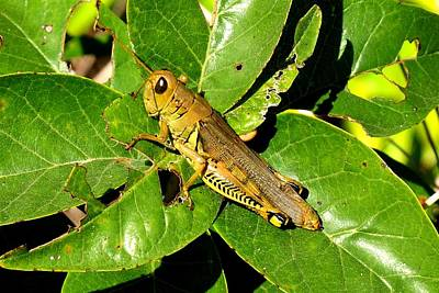 Photograph - Yellow-green Grasshopper by Marilyn Burton