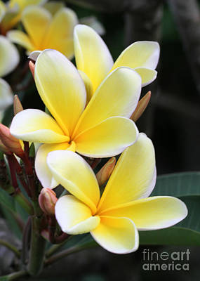 Photograph - Yellow Hawaiian Plumeria Flowers by Sabrina L Ryan