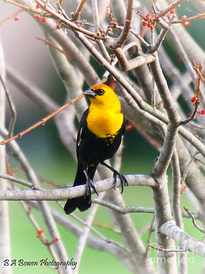 Photograph - Yellow-headed Blackbird by Barbara Bowen
