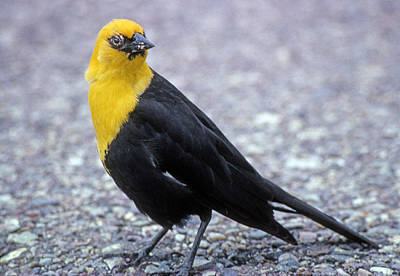 Beverly Brown Fashion Rights Managed Images - 4M09157-02-Yellow Headed Blackbird Royalty-Free Image by Ed  Cooper Photography