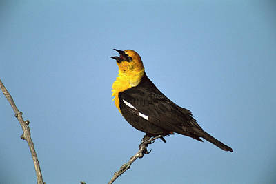 Blackbird Photograph - Yellow-headed Blackbird Singing by Tom Vezo