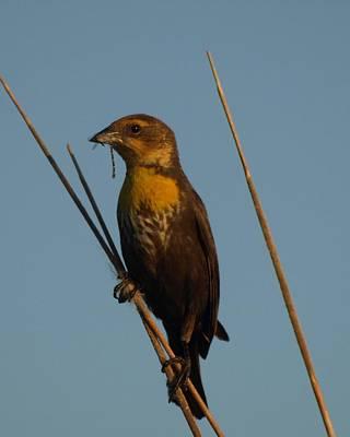 Yellow-headed Blackbird With Dragonfly Original