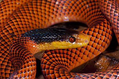 Photograph - Yellow-headed Calico Snake Yasuni by Pete  Oxford