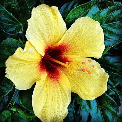 Floral Photograph - Yellow Hibiscus 2 by Darice Machel McGuire
