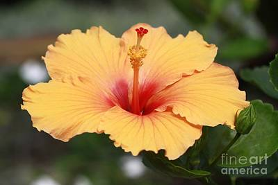 Yellow Hibiscus All Profits Go To Hospice Of The Calumet Area Art Print