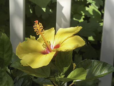 Photograph - Yellow Hibiscus And White Fence by Marianne Campolongo