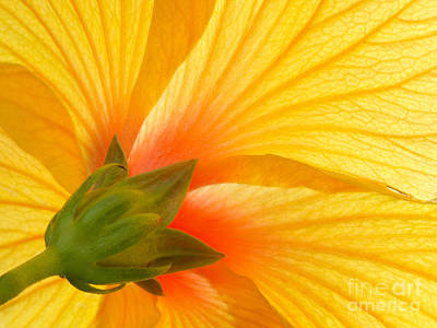 Yellow Hibiscus Backlit Macro Art Print